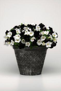 Ball black and white petunia pot a