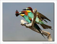 European Bee-eater, Bijeneter