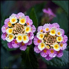 Lantana...just love it