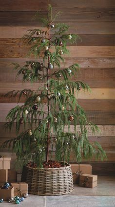 Norfolk Island Pine--had one like this for years and would decorate it along with our family Christmas tree.