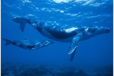 Humpback Whale (Megaptera novaeangliae) mother and calf in Polynesia Under The Water, Beautiful Sea Creatures, Rare Animals, Strange Animals, Wale, Wild Creatures, Pet Rats, Blue Whale, Humpback Whale