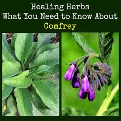 Comfrey is a healing herb that grows almost everywhere.  Learn about planting, growing, and harvesting comfrey, along with instructions for making a poultice, infusion and more.    Healing Herbs Comfrey | Backdoor Survival