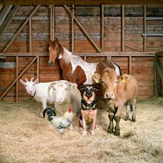 Farm Animals by Rob MacInnis #photography #fauna #equine #bovine #canine #birds #goats #sheep