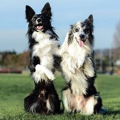 """""""When you're having a bad ear day but your friend's got your back """" writes @philly sheepdogs. #dogsofinstagram #photooftheday #dog #dogs"""