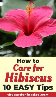 Hibiscus Care is not complicated, it is just different. Learn 10 EASY Tips to get more, better, and bigger blooms all year! Perfect for beginners and indoor hibiscus! #hibiscus #diy #howto Hibiscus Tree Care, Hibiscus Bouquet, Hibiscus Bush, Growing Hibiscus, Hibiscus Garden, Hibiscus Leaves, Purple Hibiscus, Hibiscus Plant, Hibiscus Tea