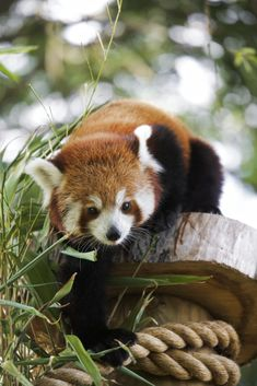 Red Panda by James Seymour-Lock on 500px