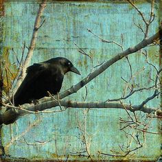 """""""Retro Blue - Crow"""" Photo by Gothicolors with Crows from Fine Art America."""