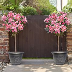 Winter Hardy Standard Oleander A Riot Of Sumptuous Pink, Sweetly Scented Flowers & Luxurious Evergreen Foliage! All parts of the Oleander plant are toxic if ingested. Potted Trees, Trees To Plant, Potted Plants, Rose Trees, Pink Trees, Patio Plants, Outdoor Plants, Ikea Outdoor, Outdoor Landscaping