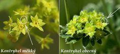 Kontryhel měkký a kontryhel obecný - jak je od sebe odlišit? Herbs, Gardening, Plants, Lawn And Garden, Herb, Plant, Planets, Horticulture, Medicinal Plants