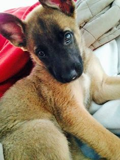 Evelyn the Belgian Malinois Mix -- #Dog Breed: Belgian Malinois / Dutch Shepherd #Dog