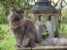 1000+ images about Maine Coon - Blue Smoke on Pinterest ...