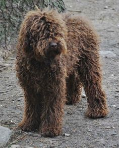 "LUV! medium chocolate australian labradoodle! Doesn't have to be a ""labradoodle"" -I just really like the med size + shaggyness(poodle mix) + brown :)"