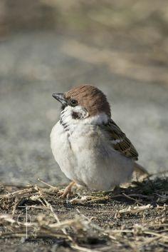 Birds And The Bees, All Birds, Cute Birds, Pretty Birds, Beautiful Birds, Animals Beautiful, Sparrow Nest, Sparrow Bird, House Sparrow