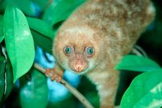 Blue-eyed spotted cuscus (Spilocuscus wilsoni), Papua New Guinea. One new mammal species has been discovered in the region on average every year over the past ten years. The highest diversity of tree-dwelling marsupials in the world exists on New Guinea, with an incredible 38 species. One of these species, the Blue-eyed Spotted Cuscus (Spilocuscus wilsoni), a small possum endemic to Papua in Indonesia, was discovered in 2004 (WWF/Tim Flannery)