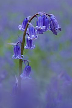 Single Bluebell - my most favorite flower :) Blue Bell Flowers, Purple Flowers, Wild Flowers, Hyacinth Flowers, Daffodils, Landscape Photography, Nature Photography, Mother Nature, Flower Art