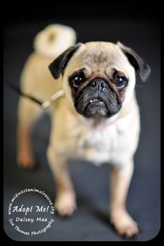 Daisey Mae is a 6.5 year old pug looking for a home. Her owners can no longer keep her, but say she's house trained and sweet with everyone.