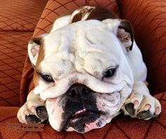 ♥ Baggy Bulldogs ♥my bull dog use to wedge himself in between the couch pillows too ♡♡♡