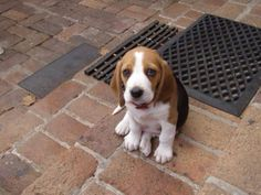 My beagle when he was a pup. Those ears.