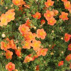 POTENTILLA fruticosa 'Orangeade' Plants, Types Of Flowers, Dog Friendly Garden, Perennials, Shrubs, Flowers, Beautiful Gardens, Backyard, Garden Plants