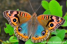 What is the comprehensive Encyclopedia of Insects ? Types Of Butterflies, Flying Flowers, Butterfly Kisses, Butterfly Wings, Butterfly Photos, Beautiful Bugs, Beautiful Butterflies, Buckeye Butterfly, Butterfly Project
