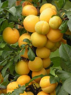 YELLOW PLUM - Winter-hardy varieties, plum delight columnar early fruiting after planting and higher yields. Excellent and the fruits of this variety, bright yellow with excellent taste pulp.