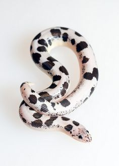 animals, snakes, reptiles, Kenyan Sand Boas