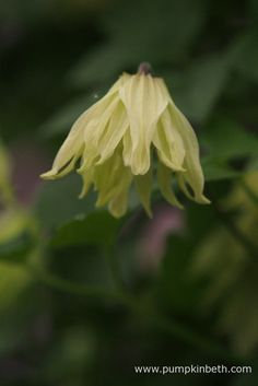Clematis koreana AMBER grows to about tall. This Clematis doesn't require any pruning, making it easy to look after.