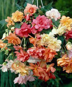 bloomsz Pastel Hanging Basket Begonia Five-Bulb Set | I love begonias.
