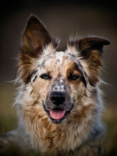An Australian shepherd...the most beautiful I've seen!
