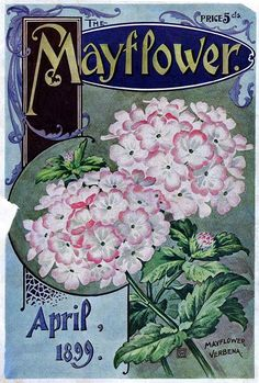 Mayflower 1899 vintage seed catalog verbena flowers