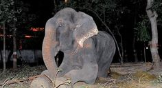 Keep Raju the crying elephant free! Do you remember Raju the elephant in India who was freed from 50 years of abuse? His story went viral. He cried tears as he was being rescued - whether from pain or relief, he was in distress. Apparently his abuser wants him back and so there's a petition to the courts in India to let Raju stay free ...