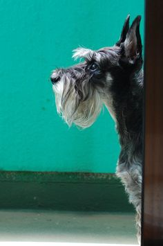 """bibi, schnauzer Hope you're doing .From your friends at phoenix dog in home dog training""""k9katelynn"""" see more about Scottsdale dog training at k9katelynn.com! Pinterest with over 21,200 followers! Google plus with over 190,000 views! You tube with over 500 videos and 60,000 views!! LinkedIn over 9,600 associates! Proudly Serving the valley for 11 plus years! Now on instant gram! K9katelynn"""