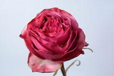 """""""Cherry Carpediem"""" garden rose  #xactproducts #colorful #style #instaflowes #flowerporn #flowerstagram #flowersofinstagram #floristsofinstagram #floristry #florist #flowershop #ihavethisthingwithflowers #floristlife #eventflowers #seasonalflowers #floraldesigner #gardenrose #gardenroses Seasonal Flowers, All Flowers, Floral Design, Cherry, Fragrance, Roses, Colorful, Create, Garden"""