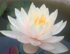 Peach Glow hardy water lily