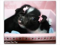 pretty piggies. I am so doing this to my baby pig.