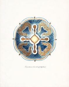 Ernst Haeckel Coastal Decor Fantasy Sea Life by vintagebytheshore,