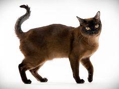 Cat Breed Photo Gallery: Animal Planet  Burmese
