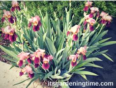 """Lady Friend"" Bearded Iris Look Like Yummy Popsicles in Your Garden! Learn How to Grow and Care for Bearded Irises at ... #garden #gardens #gardeningtips #gardeningtipsforbeginners #flower #flowers #gardendc #gardenchat"
