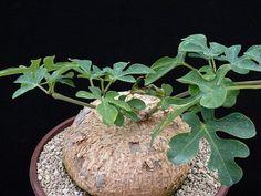CAUDICIFORM Adenia racemosa