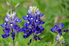 Title  Texas Blue Bonnets  Artist  Debra Martz  Medium  Photograph - Photography