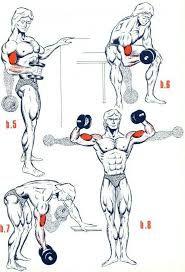 Image result for shoulder musculation