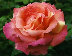 Chicago Peace - pink blend, 50-60 petals, 1962, rated 7.7 (good) by ARS.