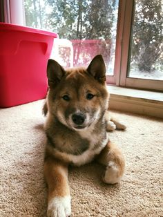 What an adorable sweetie. Sesame shiba inu puppy
