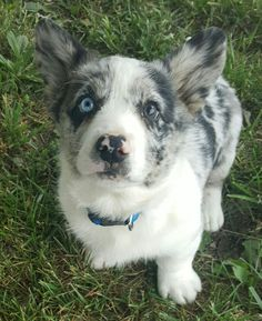 Blue merle Cardigan Welsh Corgi                                                                                                                                                      More