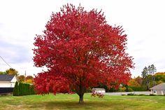 Find Red Maple (Acer rubrum) in Wilmington Hampstead Jacksonville Onslow Hanover North Carolina NC at Pender Pines Garden Center (Swamp Maple, Scarlet Maple)