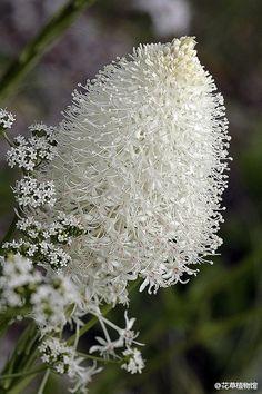 [Медведь трава], Xerophyllum TENAX, произрастающих в Северной Америке горы.  Такие цветки белые, напоминающий хвост медведя.  Он сказал, что исследователи Льюис здесь проходит, глядя вниз, чтобы увидеть медведя нюхают медведя трава цветы, думал, что это было любимое медведь трава, трава так это было Yoshina.