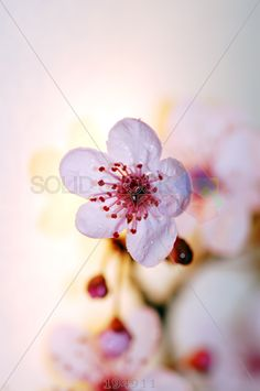 stock photo of blooming cherry tree flower with raindrops spring season