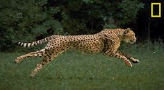 This GIF of a cheetah running in slow motion is mesmerizing
