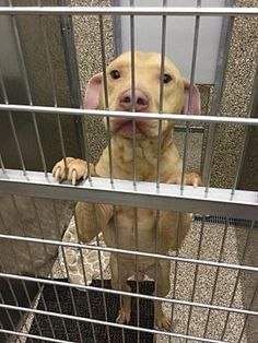 Pictures of Remedy a Pit Bull Terrier for adoption in Martinsburg, WV who needs a loving home.