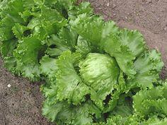 Je listová zelenina původem snad z Asie. Do střední Evropy se dostala ve středověku ze Středozemí. Vyskytuje se pouze v kultuře a je známo mnoho variet, či kultivarů různých tvarů a barev listů. http://www.semena-rostliny.cz/340-salat